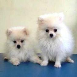 Pomeranian puppy breeders photo.jpg