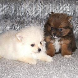 pomeranian puppies photo.jpg