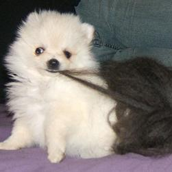 picture of white puppy playing.jpg