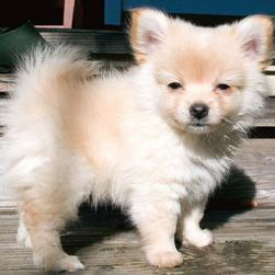 photo of pomeranian puppy in the sun.jpg