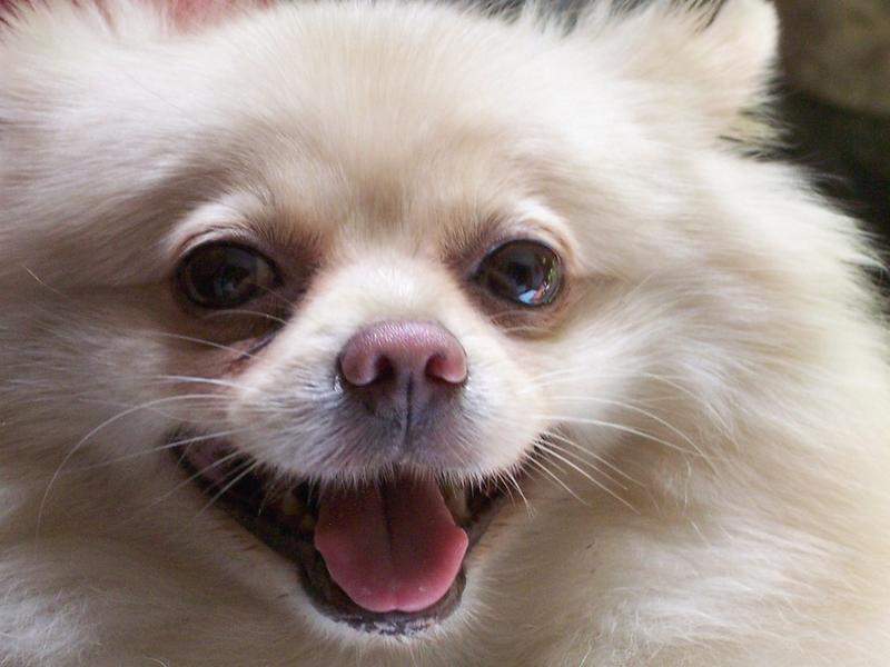 etreme closeup picture of pomeranian puppy.jpg