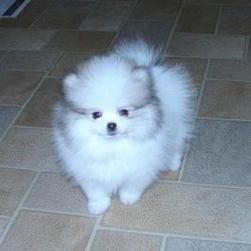 cute puppy picture of Pomeranian dog.jpg