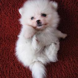 cute picture of puppy pomeranian dog.jpg