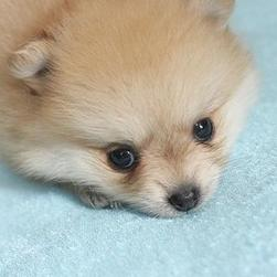 cute face of poneranian puppy.jpg