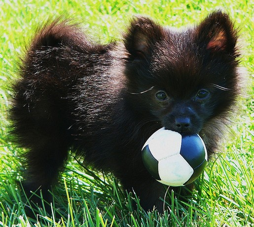 Black Pomeranian Pup Holding Its Ball On The Grass Outside