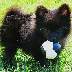 black pomeranian pup holding its ball on the grass outside.jpg