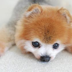 adorable pomeranian puppy in multi colors.jpg