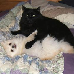 white Pomeranian puppy playing with cat friend.jpg