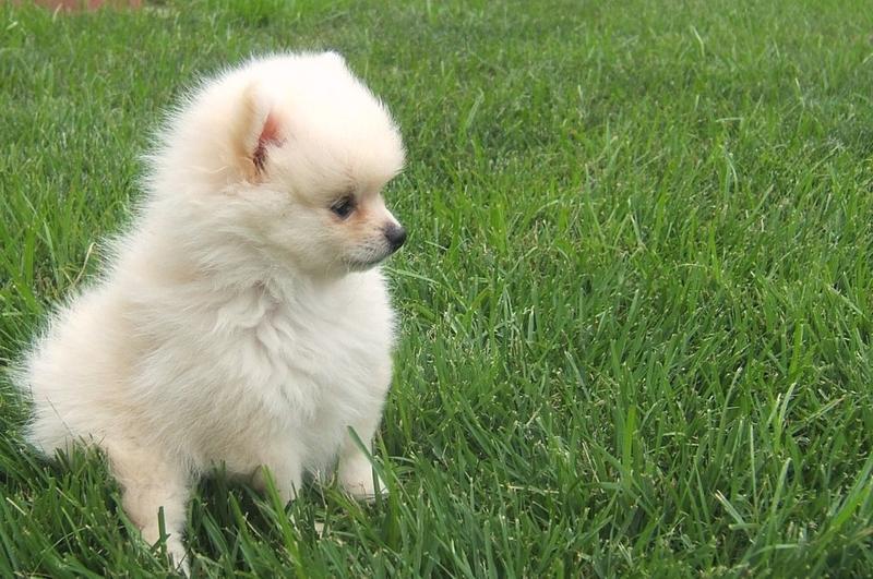 White Pomeranian Puppy Picture Jpg 3 Comments Hi Res 720p Hd