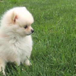 white Pomeranian puppy picture.jpg