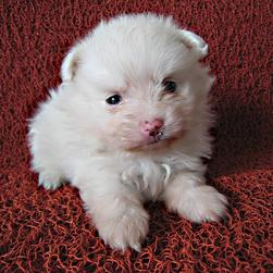 white adorable pomeranian puppy.jpg
