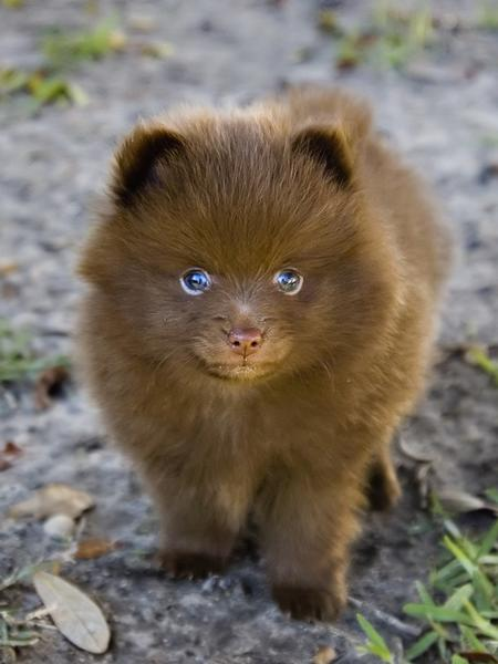 brown Pomeranian puppy.jpg (12 comments) Hi-Res 720p HD