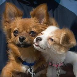 brown Pomeranian puppy with its friend.jpg