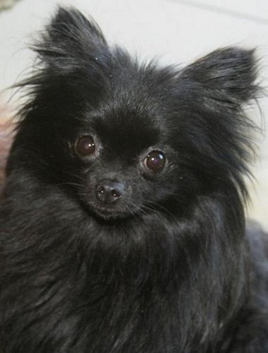 black pomeranian chihuahua puppy.jpg (2 comments)