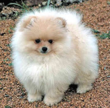fat pomeranian big pomeranian puppy jpg 7539