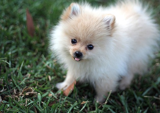 beautiful pomeranian puppy picture.jpg