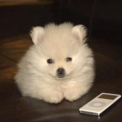 white pomeranian puppy with white ipod.jpg