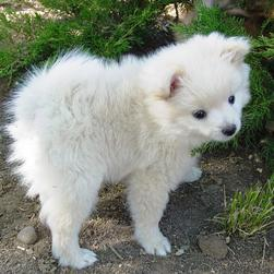 white pomeranian puppy in the backyard.jpg