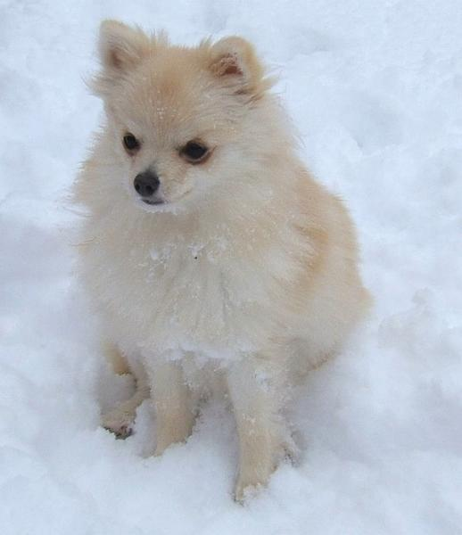 white pomeranian puppy in snow outside playing.jpg