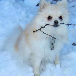 white pomeranian puppy holding a branche in the snow.jpg