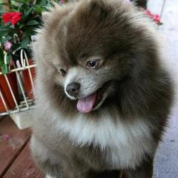 unique pomeranian puppy photo.jpg