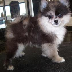 two tones pomeranian puppy.jpg