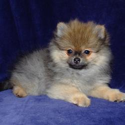 three tones pomeranian puppy.jpg