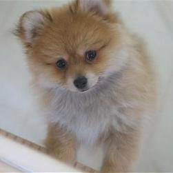 tan white Pomeranian puppy.jpg
