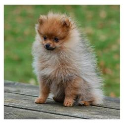 tan pomeranian pup photo.jpg