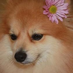 tan and cream poneranian puppy with flower.jpg