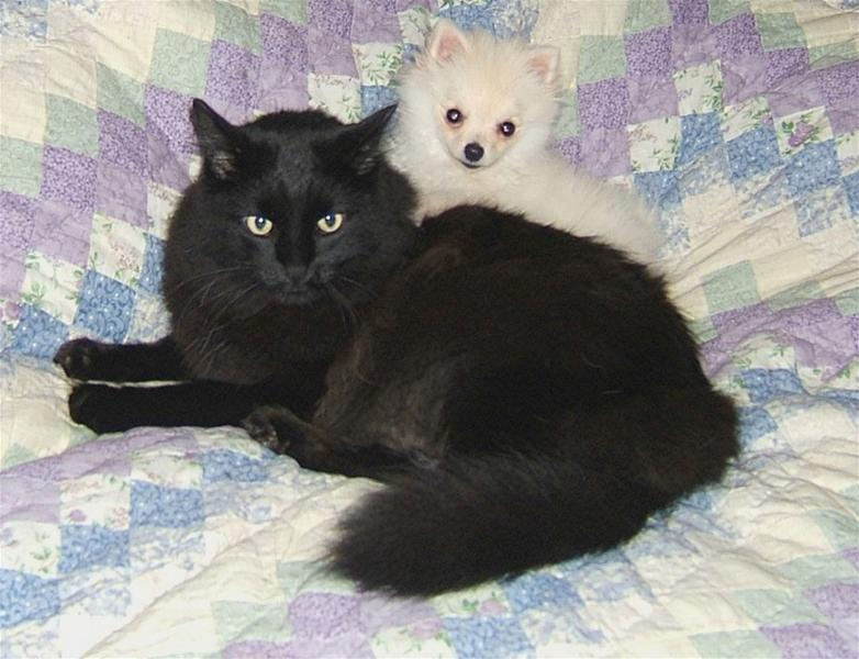 small white pomeranian puppy with black cat.jpg