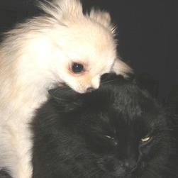 small white pomeranian puppy attacking cat in black.jpg