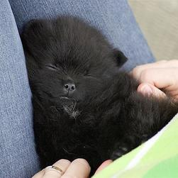 sleepy black poneranian puppy.jpg