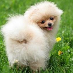 pretty Pomeranian puppy photo.jpg