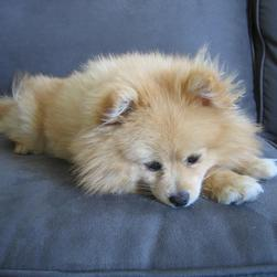 pretty golden pomeranian puppy.jpg