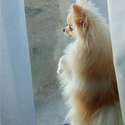 poneranian puppy standing up on the window to enjoy the world outside.jpg