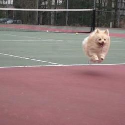 poneranian puppy in the air happens on tennis court.jpg