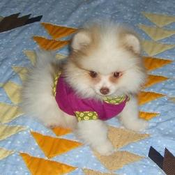 pomeranian puppy with pink outfit.jpg