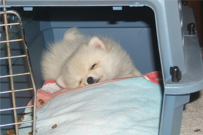 pomeranian puppy sleeping_cute looking puppy picture.jpg
