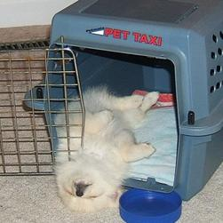 pomeranian puppy sleeping in its back_funny looking puppy.jpg