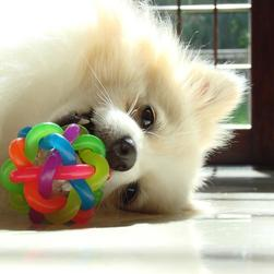 pomeranian puppy playing with its colorful toy.jpg