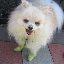 pomeranian puppy playing with grass and got some green color on its body.jpg
