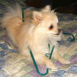 pomeranian puppy playing with a hanging.jpg