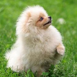 pomeranian puppy playing in the garden.jpg
