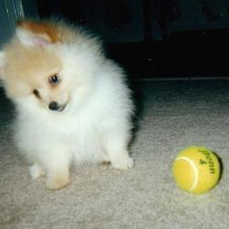 pomeranian puppy play with a tennis ball.jpg