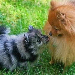 Pomeranian puppy pictures.jpg
