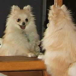 Pomeranian puppy on the mirror.jpg