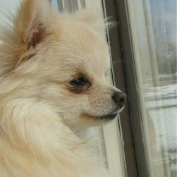 pomeranian puppy looking outside the window.jpg