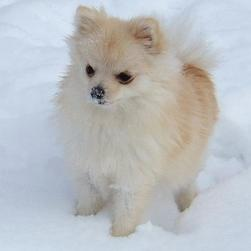 pomeranian puppy in white.jpg
