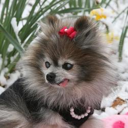 pomeranian puppy in snow.jpg
